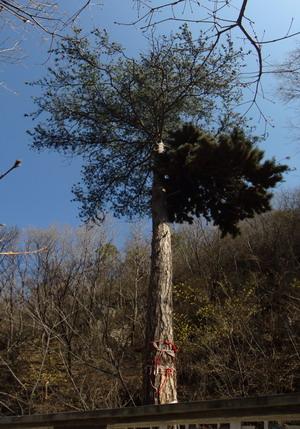 在山西的仙堂山风景区看到一颗很奇特的松树.